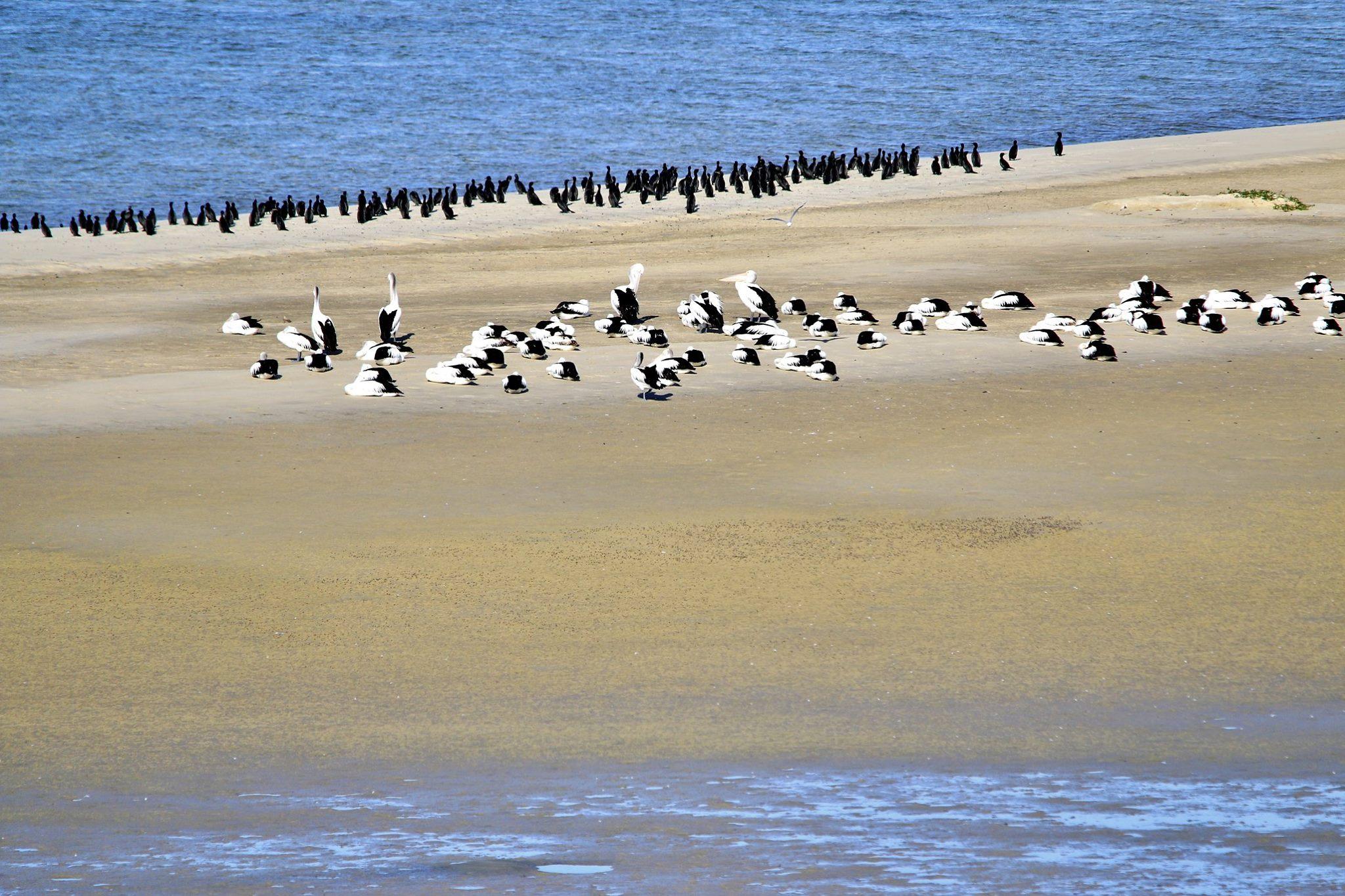 pelican & cormorants