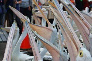 Pelican feeding at 1:30pm each day at 371 Marine Parade, Labrador QLD 4215.