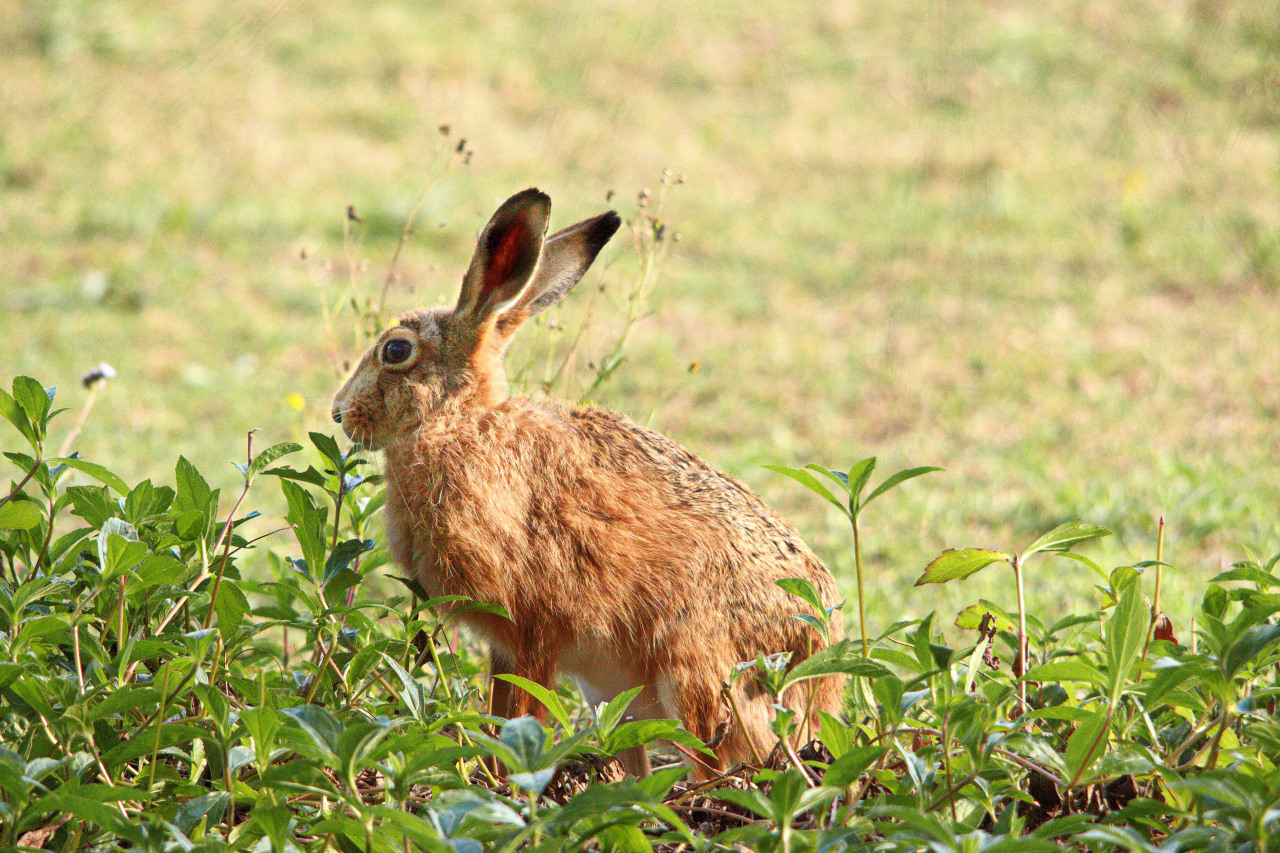 Coombabah Hare