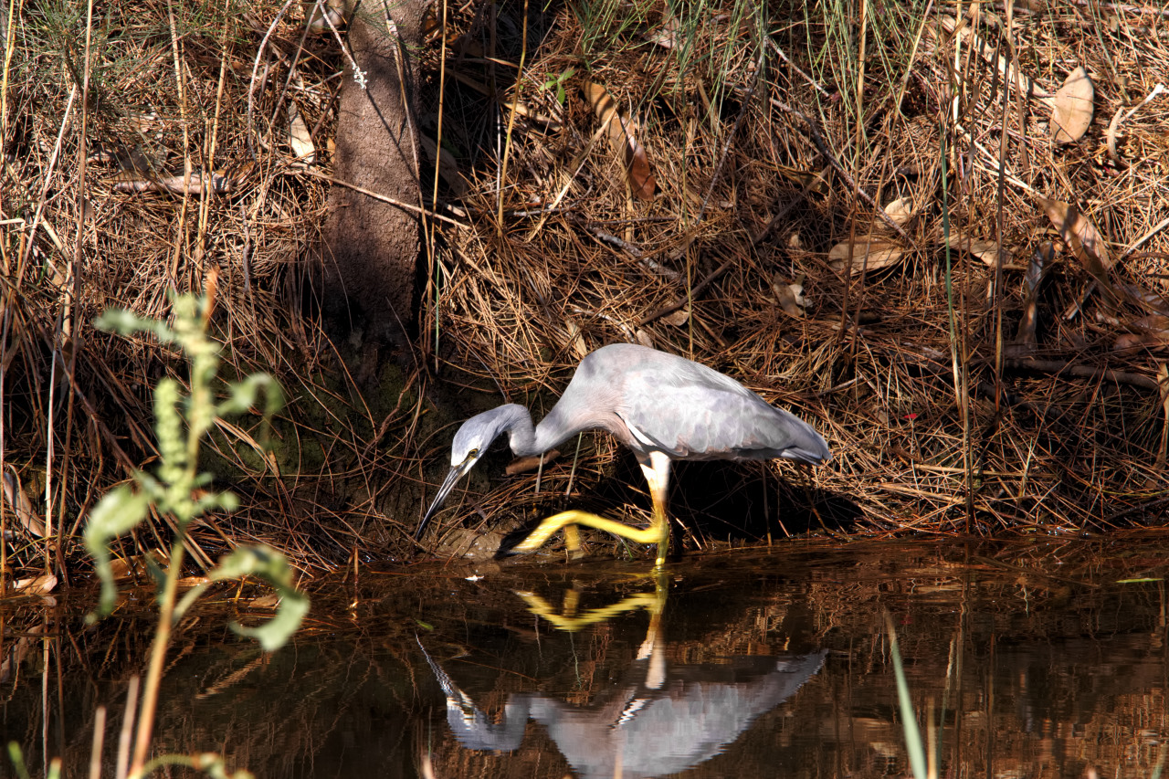 Coombabah Heron