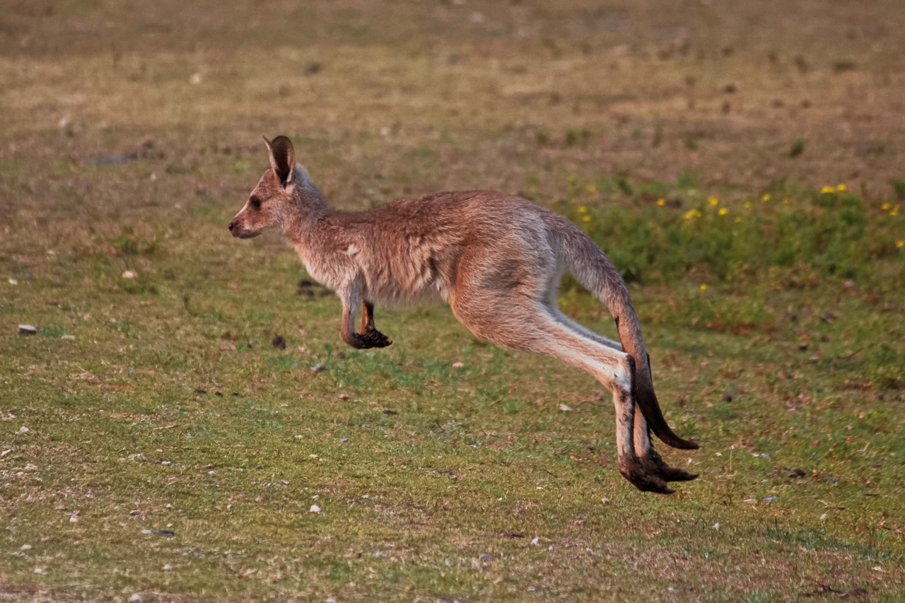 Young Kangaroo Jumping