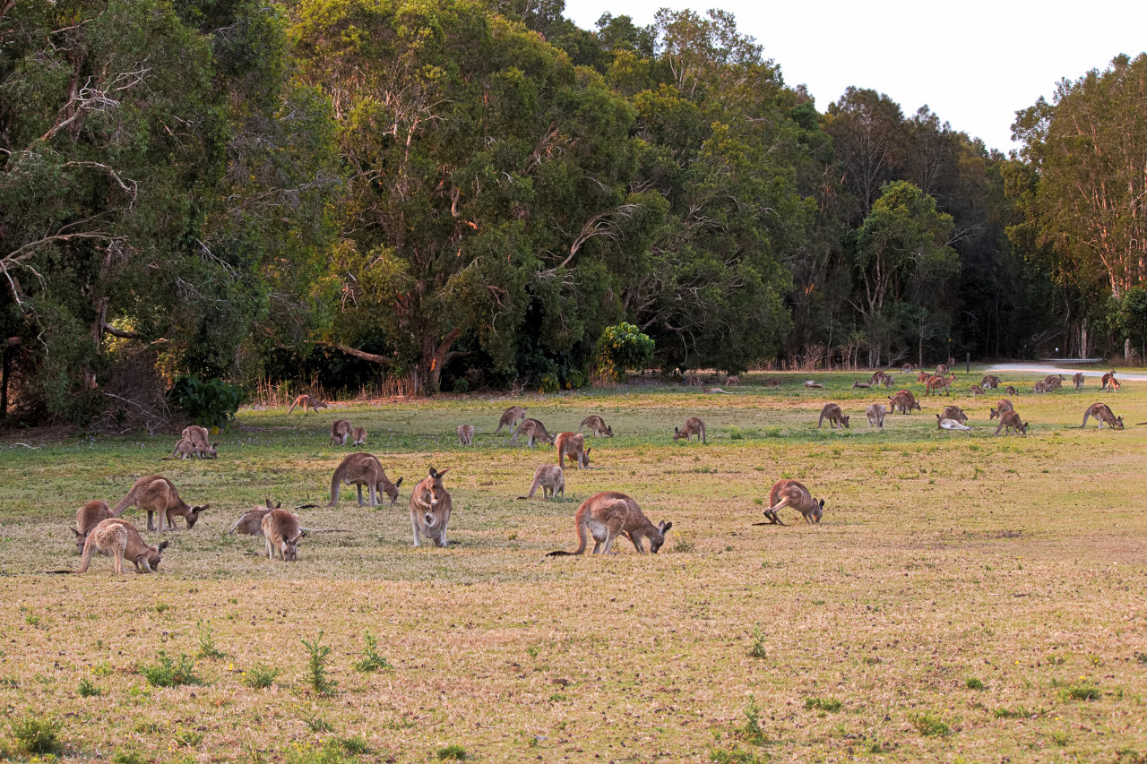 Kangaroos at Coombabah
