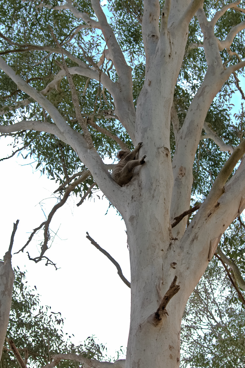 Koala at Coombabah