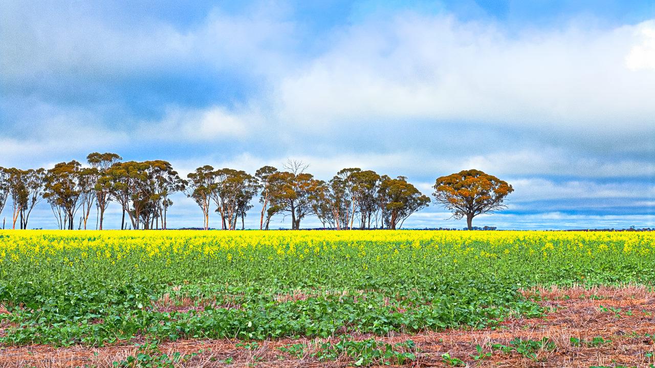 Oil Seed Field Corrigin Western Australia