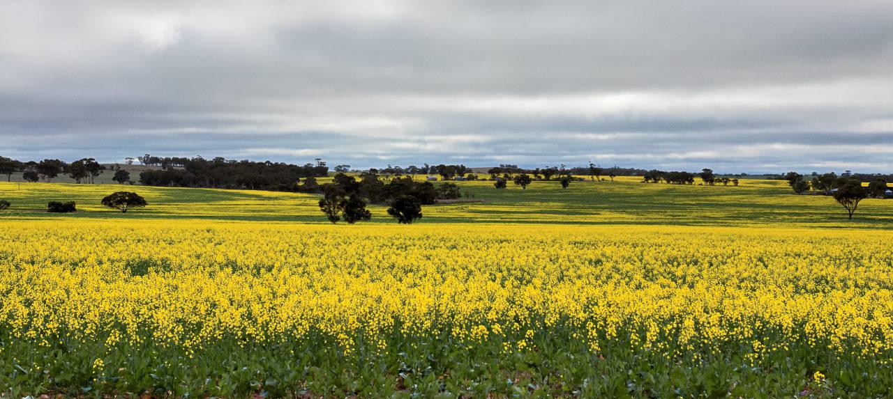 Oil Seed Field Western Australia