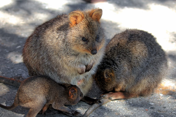 Quokkas sleeping and with a baby.