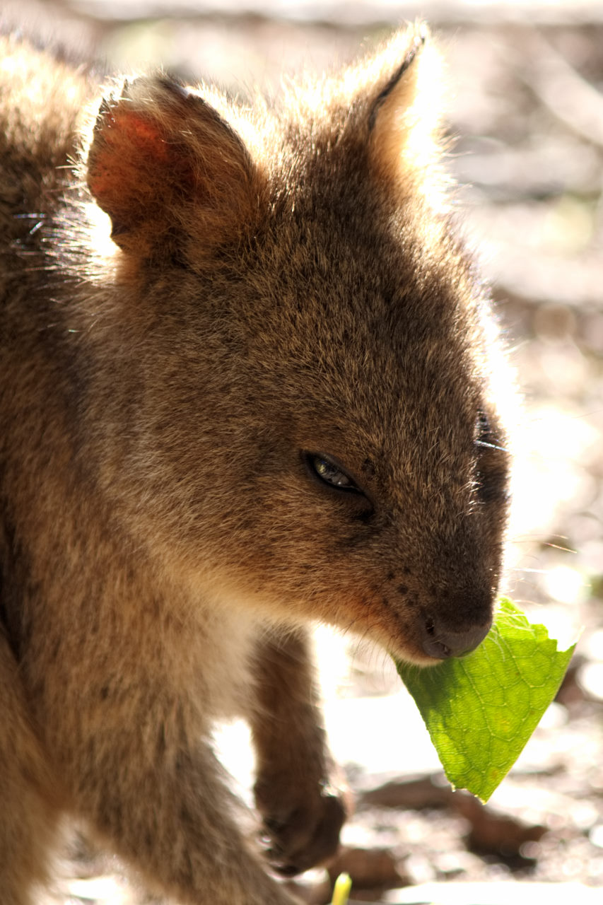 Quokka eating a leaf