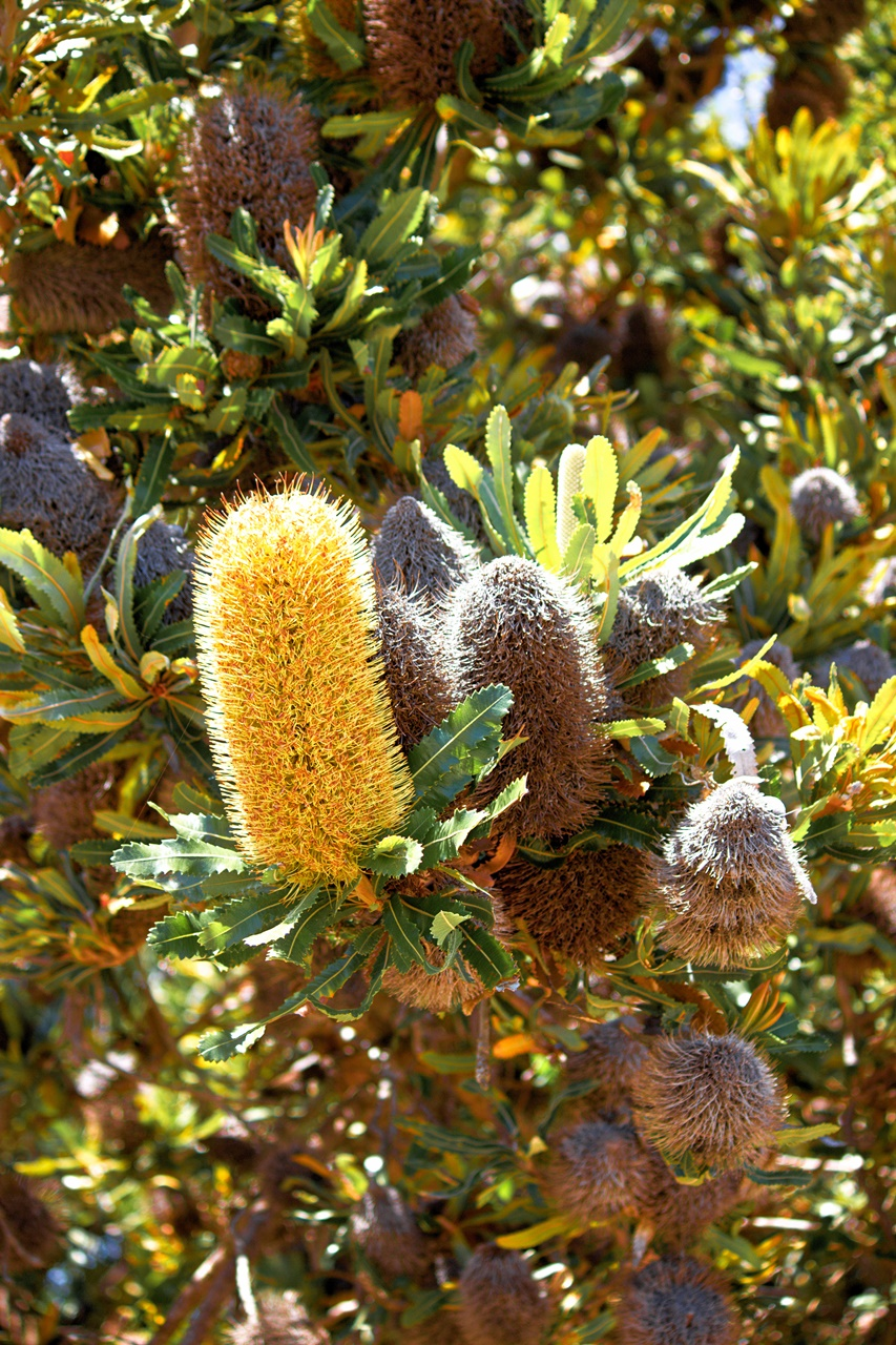 Banksia Tree and Flowers - Moreton Island