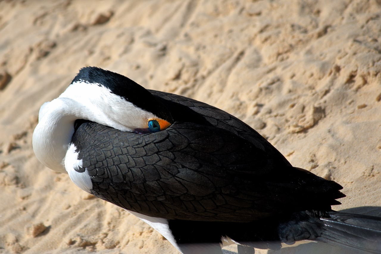 Cormorant Bird - Moreton Island