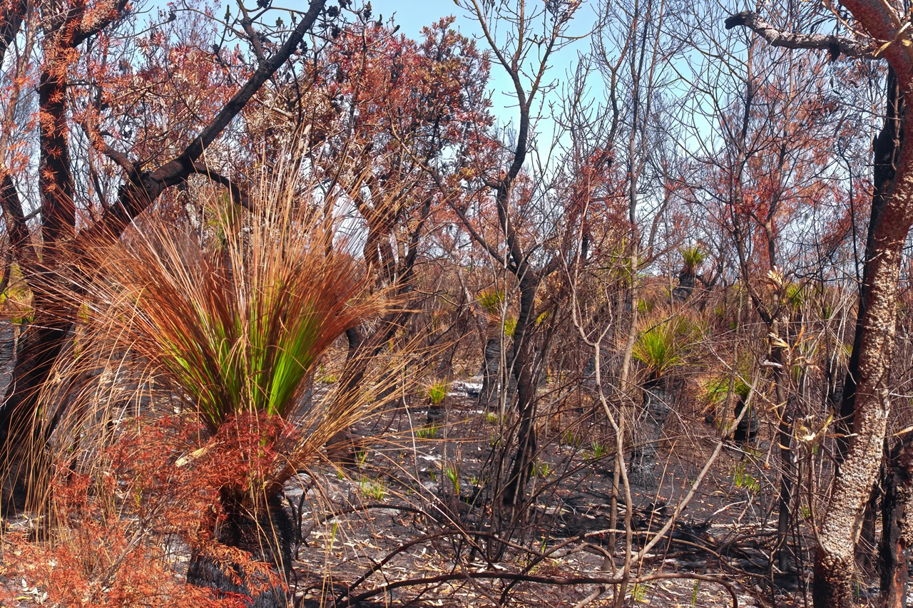 Grass Trees after Fire - Moreton Island